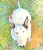 """So Where's My Cookie? ...Yuki - a Bull Terrier dog print by Roberta Laidman"